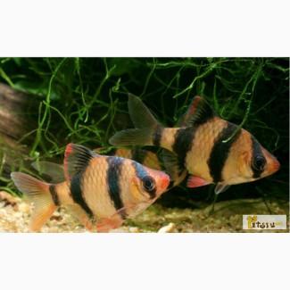 Аквариум 80л с рыбками в Уфе