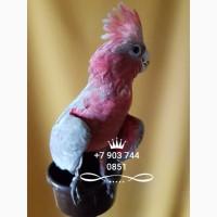 Розовый какаду (Eolophus roseicapilla) 4 - 5 мес птенцы