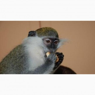 Зеленая мартышка