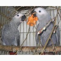 Жако птенцы выкормыши говорящие от заводчика