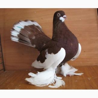 Отдам статных голубей