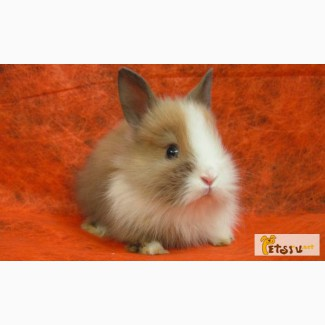Карликовые кролики продажа от Заводчика, Минск