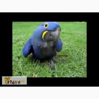 Продам умного (не очень) попугая попу