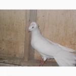 Голуби Гданьские сокола