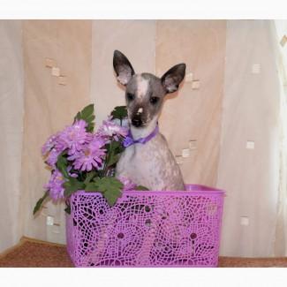Щенки мексиканской голой собаки мини. Продаются