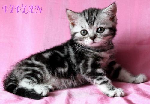 Фото 1/1. Британские котята вискас из питомника
