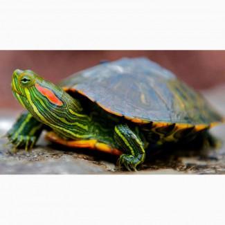 Красноухая черепаха в добрые руки, 15 см