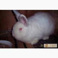 Кролики Новозеландский белый
