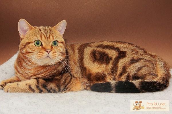 Коты британские мраморные для вязки