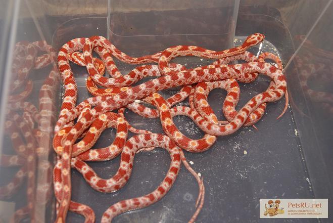 Фото 1/2. Продаю маисовых и королевских змей в Омске