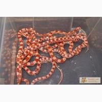 Продаю маисовых и королевских змей в Омске