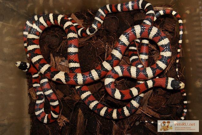 Фото 2/2. Продаю маисовых и королевских змей в Омске