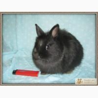 Мини кролик породы лисий карлик