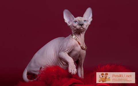 Фото 1/5. Шоу-котята из питомника.