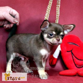 Чихуахуа щенки, для счастья и любви-не дорого