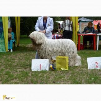 Комондора (венгерской, шнуровой овчарки) щенков