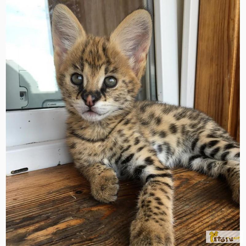 Фото 1/4. Экзотические котята Serval, Каракал, Саванна доступны