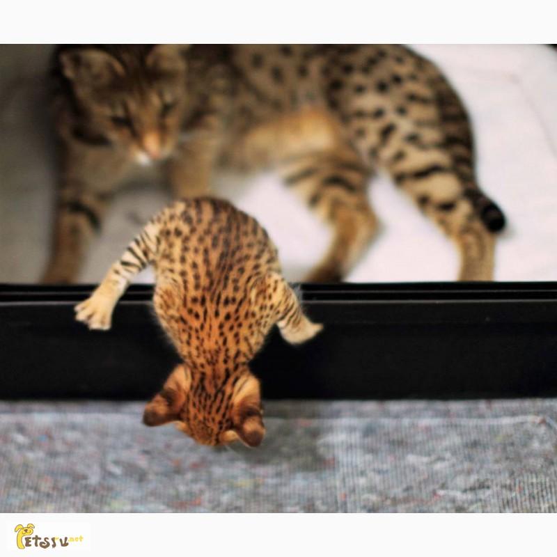Фото 2/4. Экзотические котята Serval, Каракал, Саванна доступны