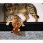 Экзотические котята Serval, Каракал, Саванна доступны