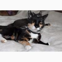 Трёхцветная кошка Ириска