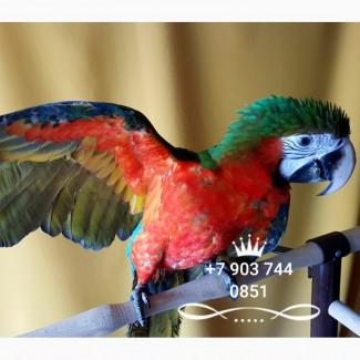 Арлекин гибрид попугаев ара - птенцы из питомников Европы