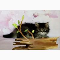 Кошка Хайленд страйт дата рождения 02.12.2017 окрас черный тиккированный