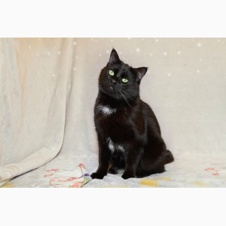 Ласковый кот Сириус ищет дом