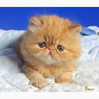 Персидские котята из питомника