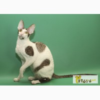 Корниш-рекс королевские кудрявые котята