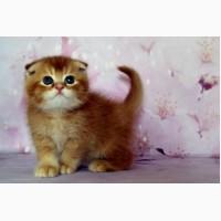 Кот окрас : красный тиккированный (редкий) скоттиш фолд