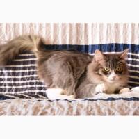 Сибирский красавец пушистый кот Кузя ищет дом