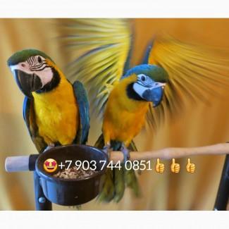Ручные птенцы сине желтой ары (ara ararauna) из питомников Европы