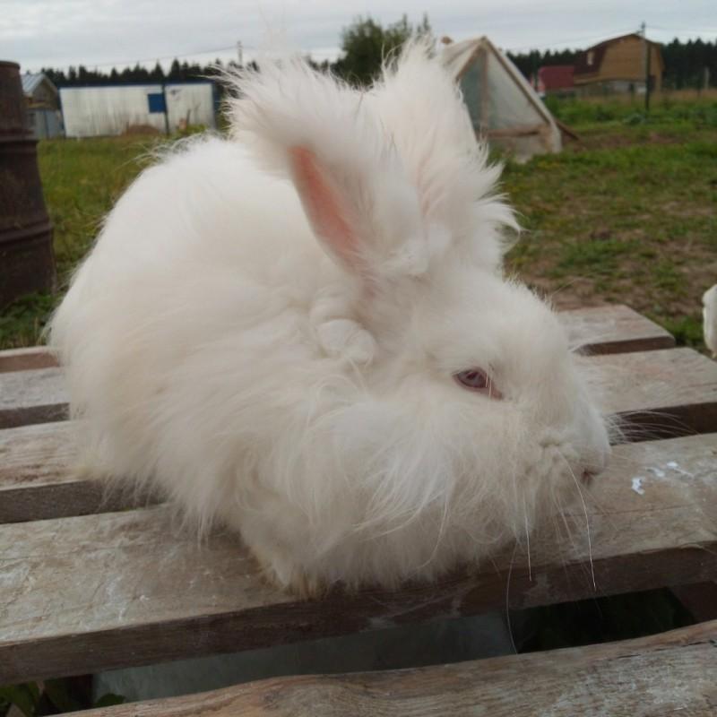 Фото 1/9. Крольчата. пуховые кролики