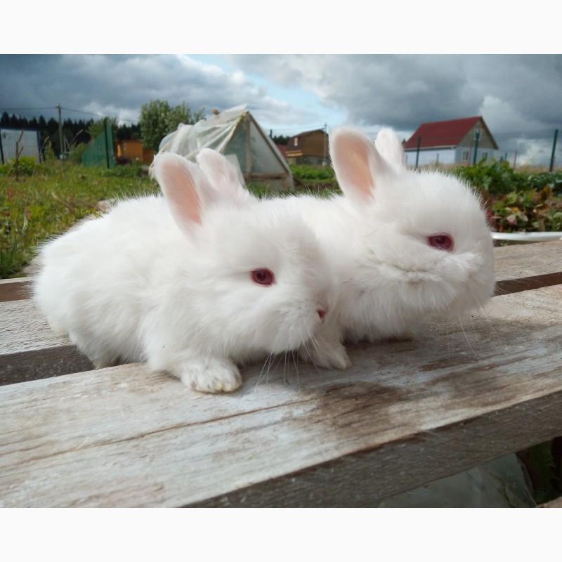 Фото 3/9. Крольчата. пуховые кролики