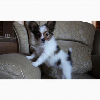Папийон - очаровательный щенок, 2 месяца