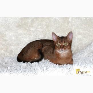 Абиссинский кот-вязка в Челябинске