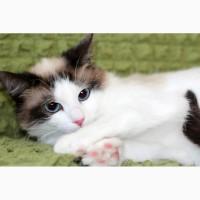 Пушистый чудо-котик, породы регдолл в дар