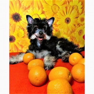 Пуховой мальчик китайской хохлатой собаки