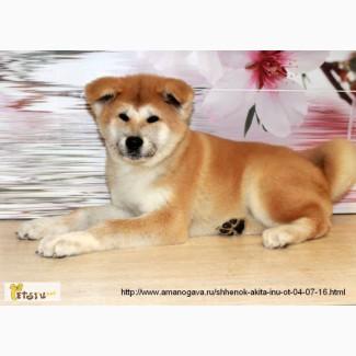 Предлагаем щенка Акита Ину (мальчик)