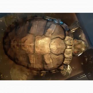 Отдадим водную черепаху в добрые руки