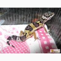 Продаётся леопардовый геккон