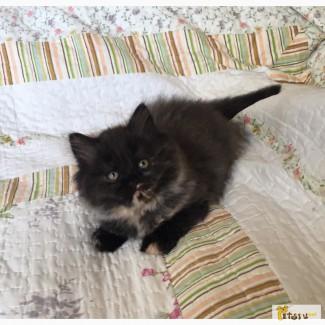 Персидские плюшевые котята