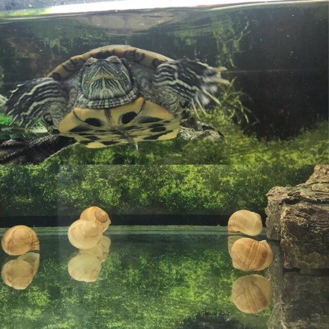 Фото 3/4. Отдам красноухую черепаху в добрые руки (МСК)