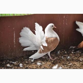 Отдам голубей в хорошие руки