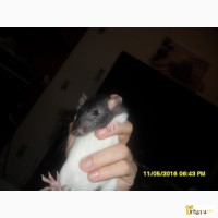 Отдам даром крысенка