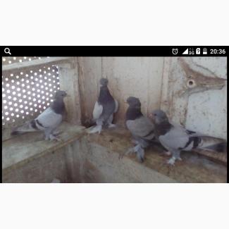 Продам бойных голубей