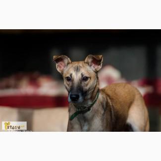 Молодая собака, метис бельгийской овчарки