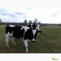 Телки и бычки черно-пестрой породы 150-250 кг