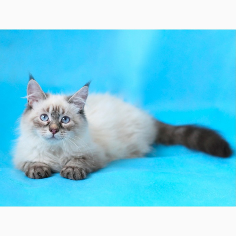 Фото 2/3. Невский Маскарадный котенок-юниор от титулованных родителей
