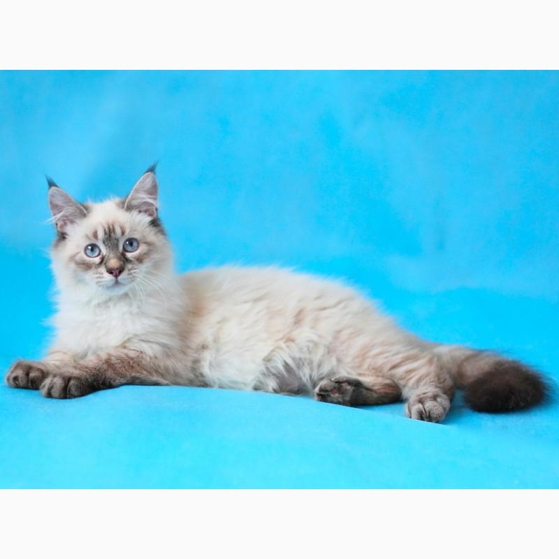 Фото 3/3. Невский Маскарадный котенок-юниор от титулованных родителей